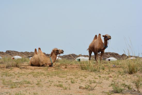 Dornogovi Province, منغوليا: Camels
