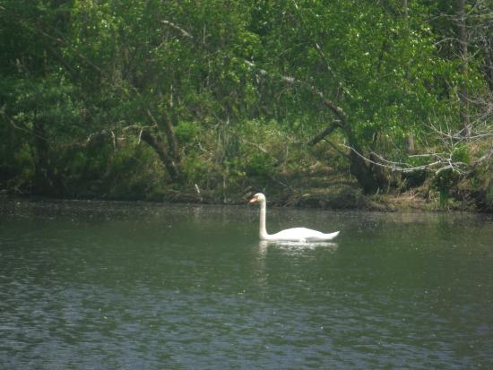 Blackstone River Valley: a swan