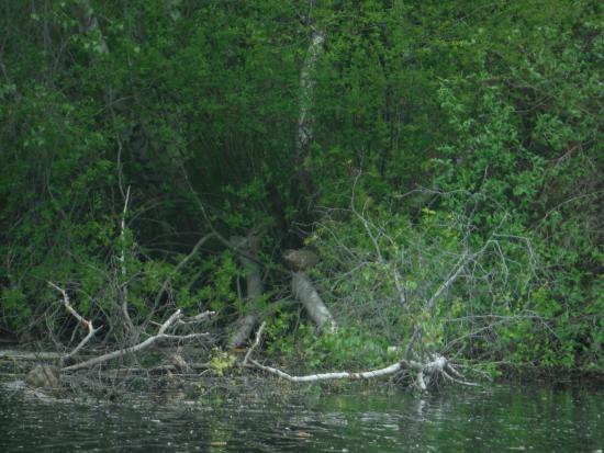 Rhode Island: a beaver dam