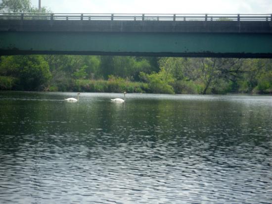 Blackstone River Valley: 2 swans
