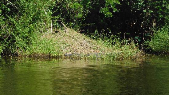 Turkey Creek Nature Trail : alligator