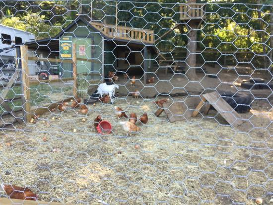 Benvenuto Bed & Breakfast: Chickens and goats that just add to the atmosphere.