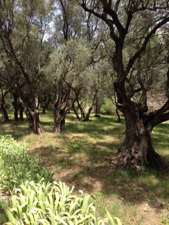 Jardins de l'abbaye Saint-André : The olive grove
