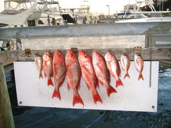 Snapper picture of gulf angler fishing charters destin for Gulf angler fishing charters