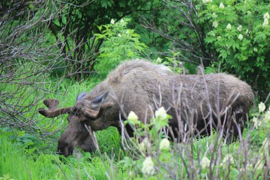 Pablo Bicycle Rentals: moose off side of the bike trail