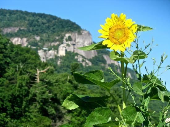 Lake Lure, Carolina do Norte: Sunflowers in bloom