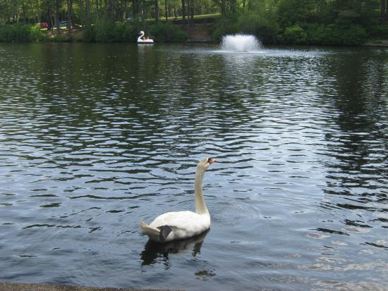 Slater Memorial Park: Swan in foreground along shore, with swan boat in background
