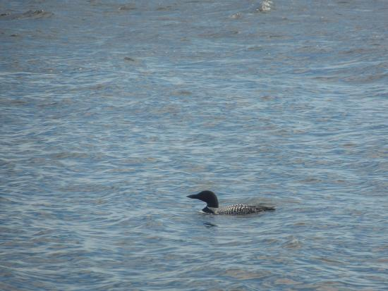 Casey's Spencer Bay Camps: loons are always all around