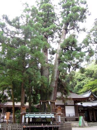 大神神社, 巳の神杉・・・白蛇が棲むご神木