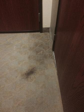 Days Inn & Suites Carbondale: Just a small part of the disgusting carpet in my room