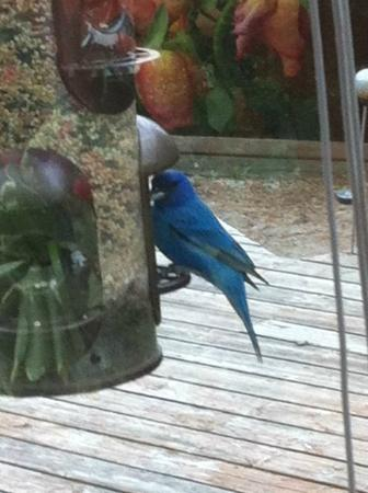 Inn on the Moraine: Indigo bunting enjoying breakfast