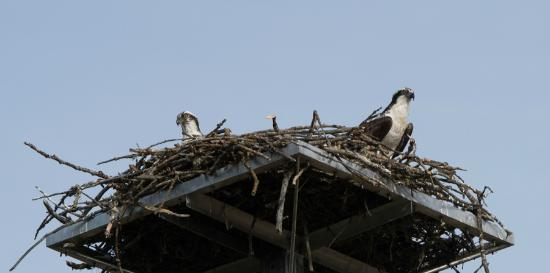 Rogue River: Young Ospreys