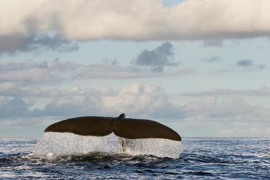 Azores Whale Watching Terra Azul: Whale Watching Terra Azul Azores