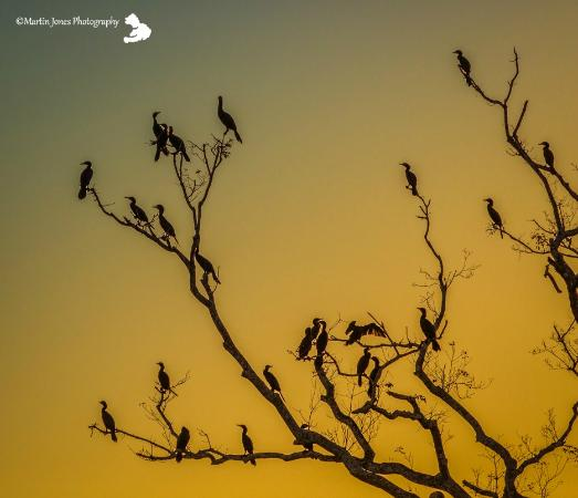 Serra Dos Tucanos: Tree full of Cormorants