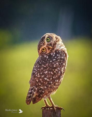Serra Dos Tucanos: Burrowing Owl