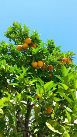 Villa Sorrento: Orange trees in the garden