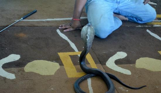 phython - Picture of Phuket Cobra Show and Snake Farm, Rawai - TripAdvisor