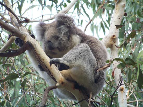 菲利普岛自然公园-考拉保护中心