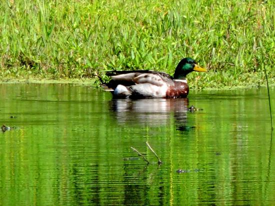 Simcoe, Canada: Mallard on water .. peaceful