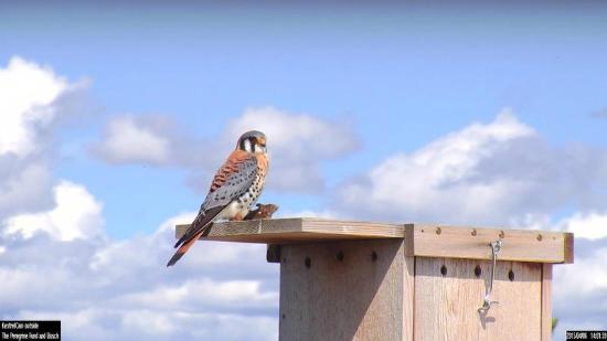 Boise, ID : American Kestrel with a mouse ready to feed his hatchlings!