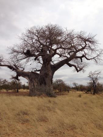 Leokwe Camp - Mapungubwe National Park: Baobab