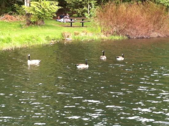 Maple Falls, WA: Ducks on the water