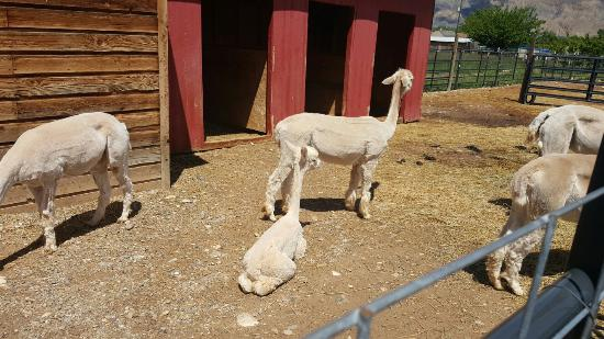 Suncrest Orchard Alpacas: Alpacas...