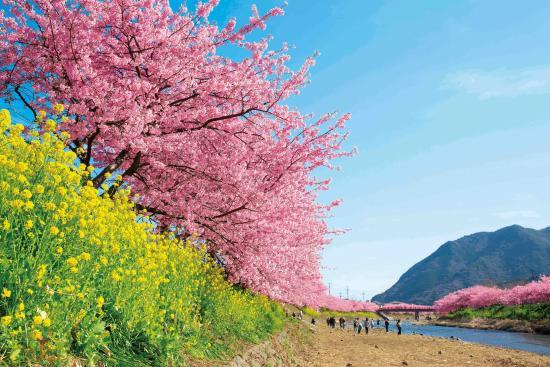 河津桜 (河津町)