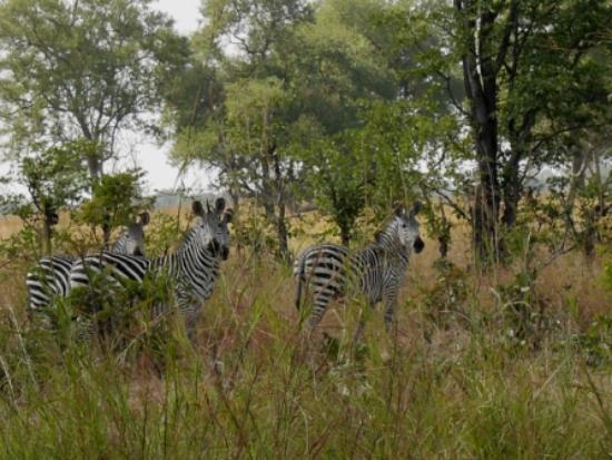 Nsolo Bush Camp - Norman Carr Safaris: Zebras seen on our Walking Safari