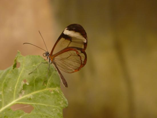 Rare Glasswinged Butterfly Picture Of Magic Of Life Butterfly