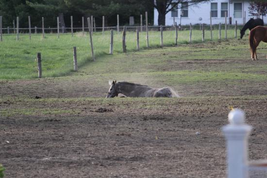 Farm by the River Bed and Breakfast with Stables: One of the horses rolling in the dirt