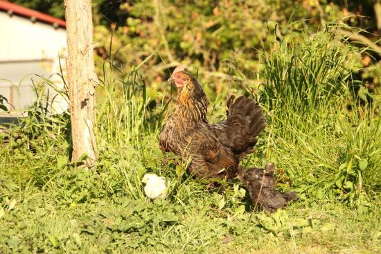 Txindurri Iturri Sidreria y Casa Rural: Gallina con sus polluelos