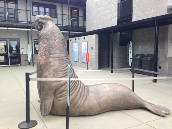 Life size elephant seal model - Picture of Marine Mammal ...