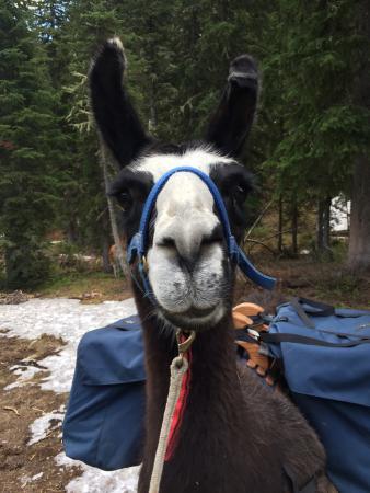 Wildland Llamas: My hiking partner, Isabella!