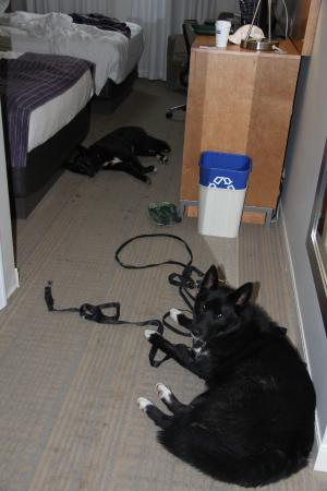 Holiday Inn Express - Kamloops: our dogs are cool and comfy!
