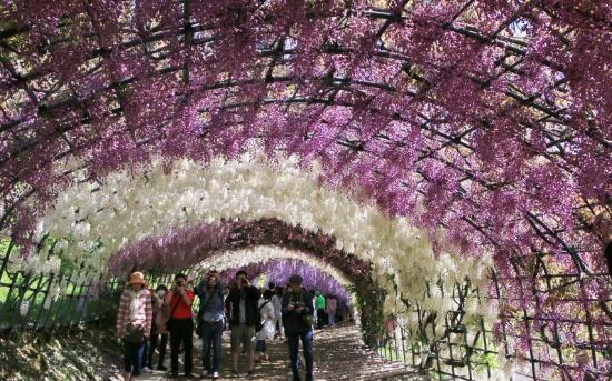 Kitakyushu, Japón: 有名な藤のグラデーショントンネル
