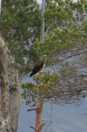 RSPB Loch Garten: Here's the Osprey. It's about as close as you can get