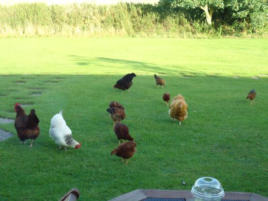 Holcombe Valley Holiday Cottages & B&B : RESIDENT CHICKENS