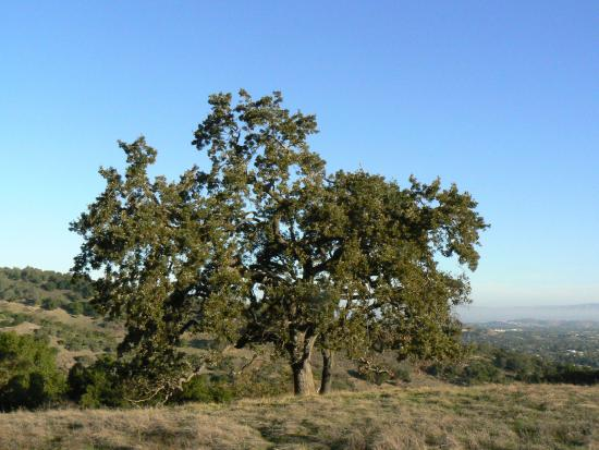 Almaden Quicksilver County Park: Many great trees