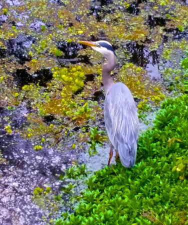 Willamette River bike trail: Great Blue Heron in the Delta Ponds...