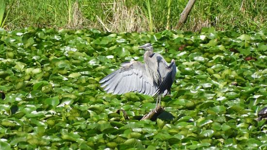 Juanita Bay Park: Local Blue Heron june 2015