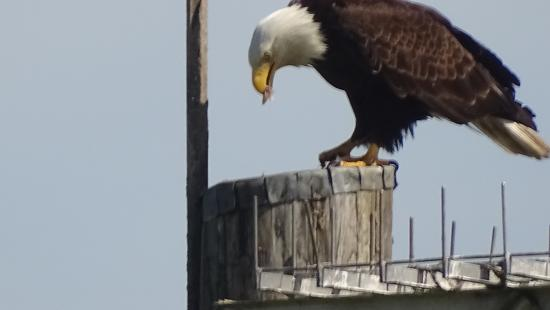 Juanita Bay Park: Eagle having breakfast. June 2015