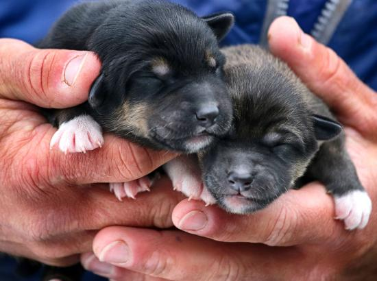 Newborn Alaskan Husky Puppies At The