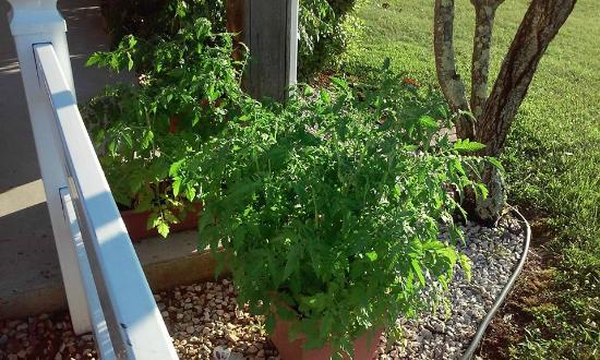"Village Inn Motel: Tomato Plants--very ""homey"""