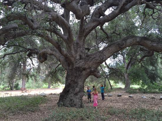 Rancho Santa Ana Botanic Garden: Majestic Oak