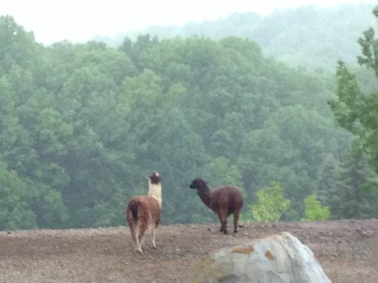 Nemacolin Woodlands Resort & Spa: Lamas enjoy the view
