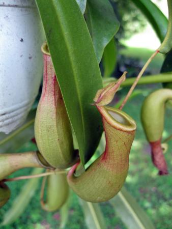 University Of South Florida Botanical Gardens, Tampa: Pitcher Plants