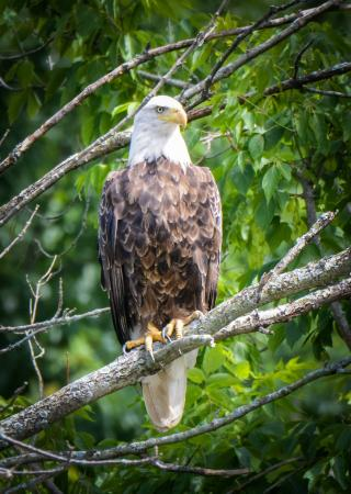 Shiawassee National Wildlife Refuge: This eagle was sitting in a tree very close to us.