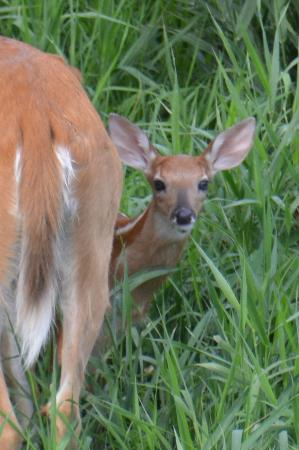 Shiawassee National Wildlife Refuge: fawn with mother