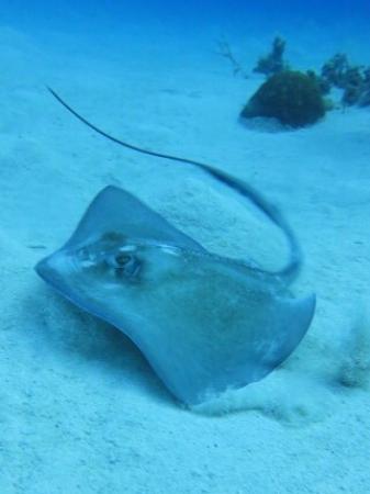 Cayman Brac: Southern Stingray